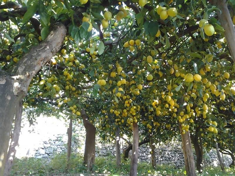 20201204114109sentiero-dei-limoni-limoneto.jpg
